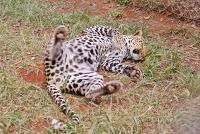 <p>Кения, Найроби. Д</p> <p>Оеопард в парке Найроби</p>