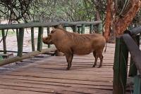 <p>Кения, Найроби. Бородавочник в парке Найроби</p>