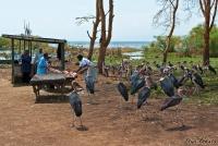 <p>Кения, озеро Найваша. Марабу выпрашивают рыбу</p>