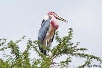 <p>Кения, озеро Найваша. Марабу с добычей в зобе</p>