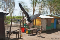 <p>Кения, озеро Найваша. Марабу у домиков рыбаков</p>