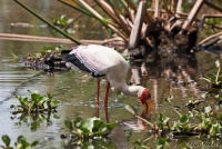 <p>Кения, озеро Найваша. Цапля</p>