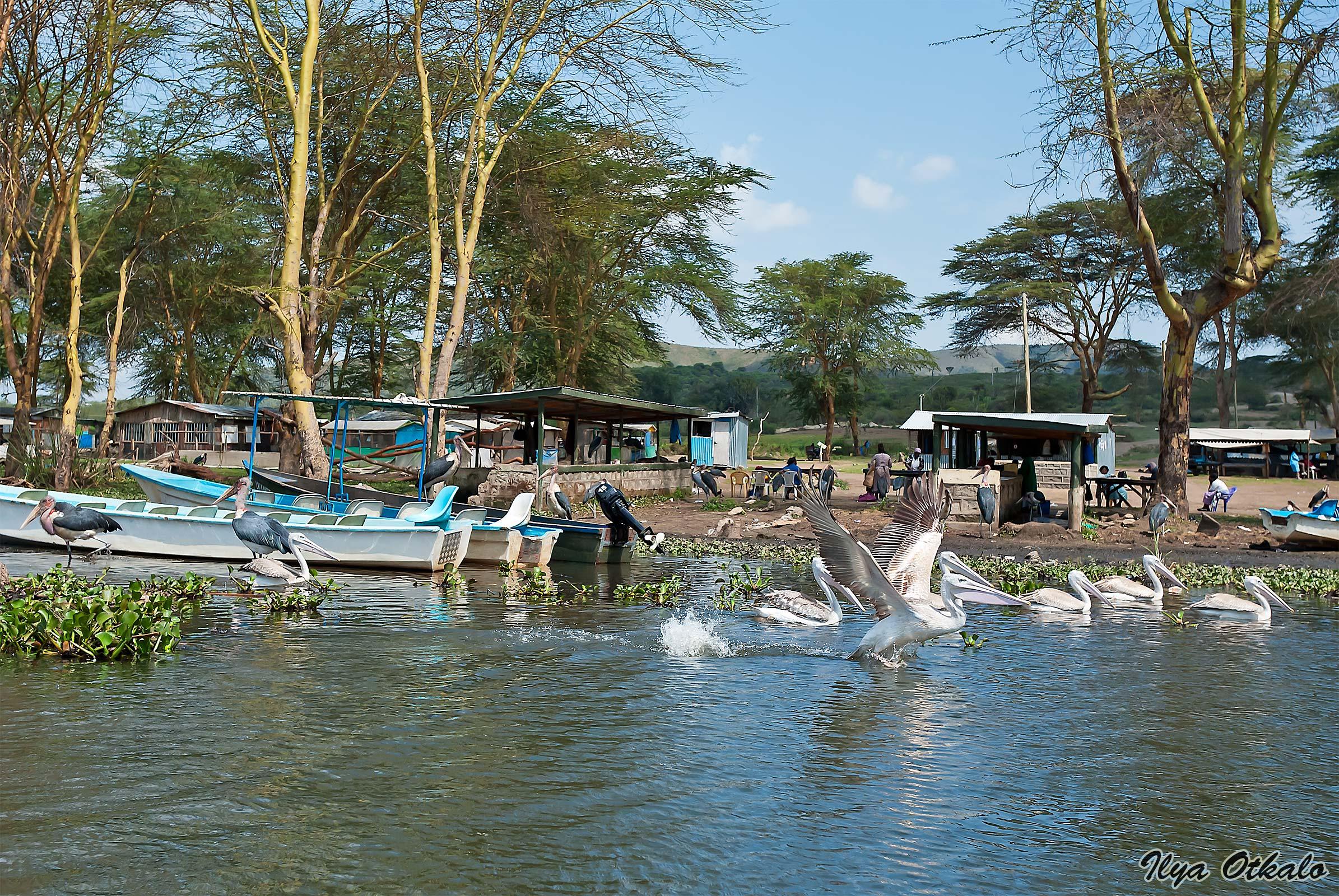 Пеликаны на лодочной станции Найваша