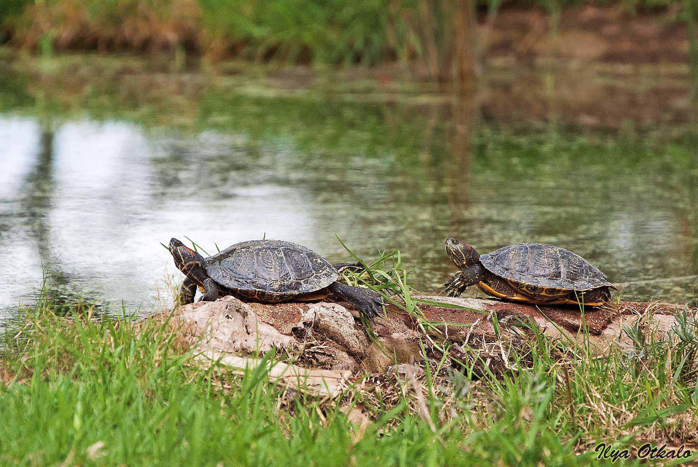 Черепахи. Озеро Найваша