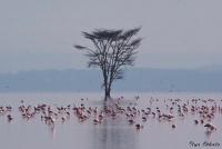 <p>Кения, озеро Накуру. Фламинго</p>