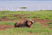 <p>Кения, озеро Накуру. Буйвол</p>