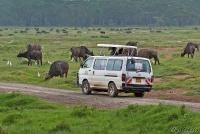 <p>Кения, озеро Накуру. Наблюдение за буйволами</p>