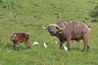 <p>Кения, озеро Накуру. Буйвол с теленком</p>