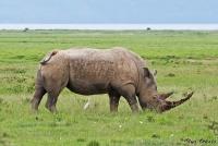 <p>Кения, озеро Накуру. Носорог</p>