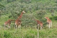 <p>Кения, озеро Накуру. Жирафы</p>