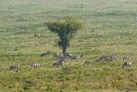 <p>Кения, озеро Накуру. Стадо зебр</p>