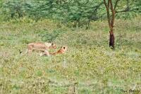 <p>Кения, озеро Накуру. Львы</p>