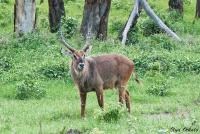 <p>Кения, озеро Накуру. Водяной козел</p>