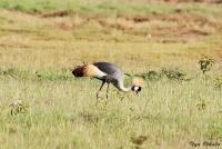 <p>Кения, озеро Накуру. Птица - секретарь</p>