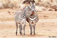 <p>Кения, Тсаво. Любовь у зебр</p>