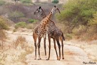 <p>Кения, Тсаво. Два жирафа</p>