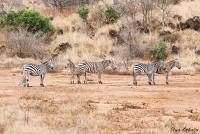 <p>Кения, Тсаво. Зебры</p>