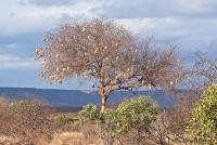 <p>Кения, Тсаво. Дерево с гнездами</p>