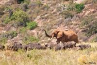 <p>Кения, Тсаво. Слон и буйволы</p>