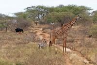 <p>Кения, Тсаво. Животные</p>