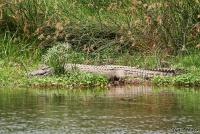 <p>Кения, Тсаво. Крокодил</p>
