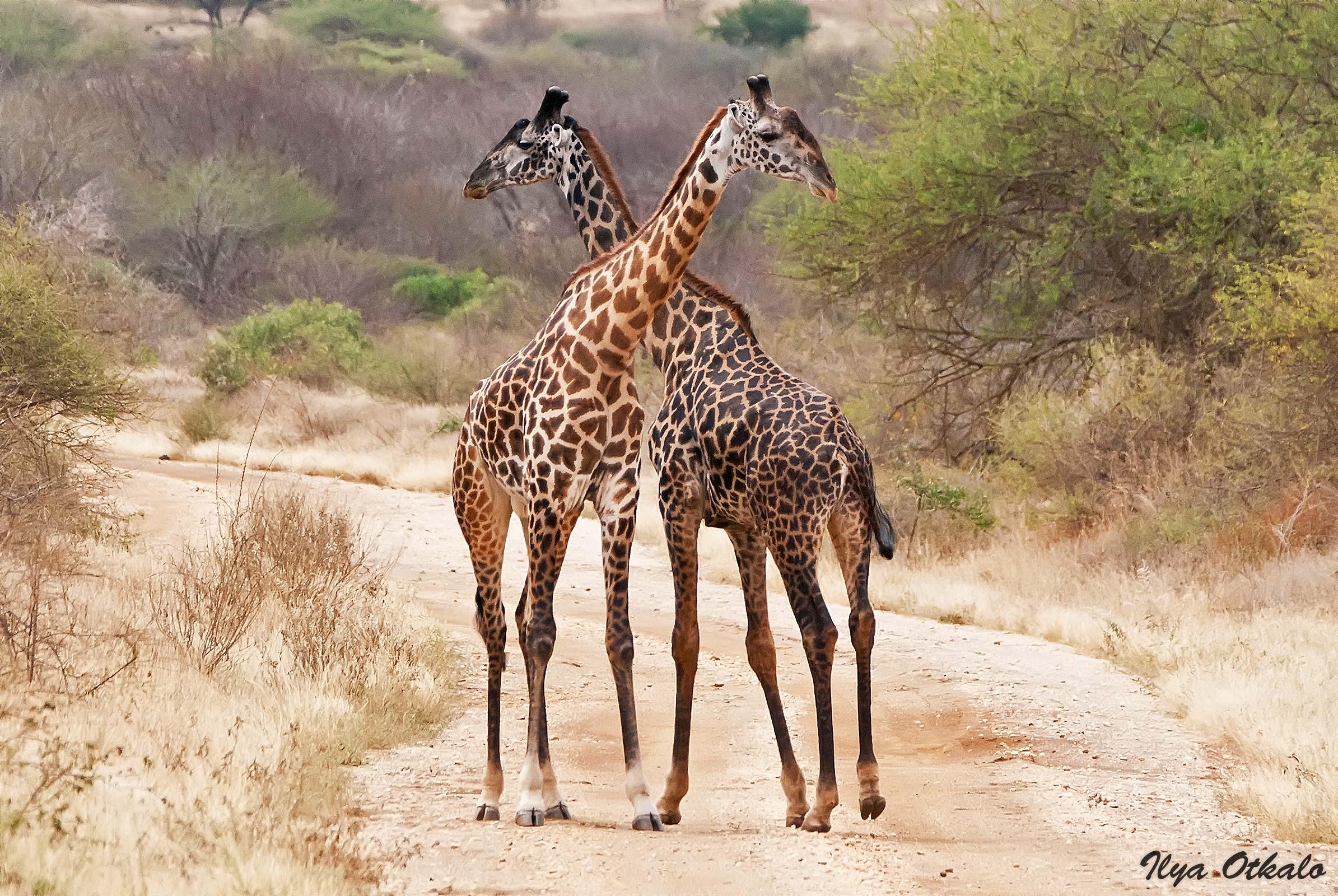 Пара жирафов в Тсаво
