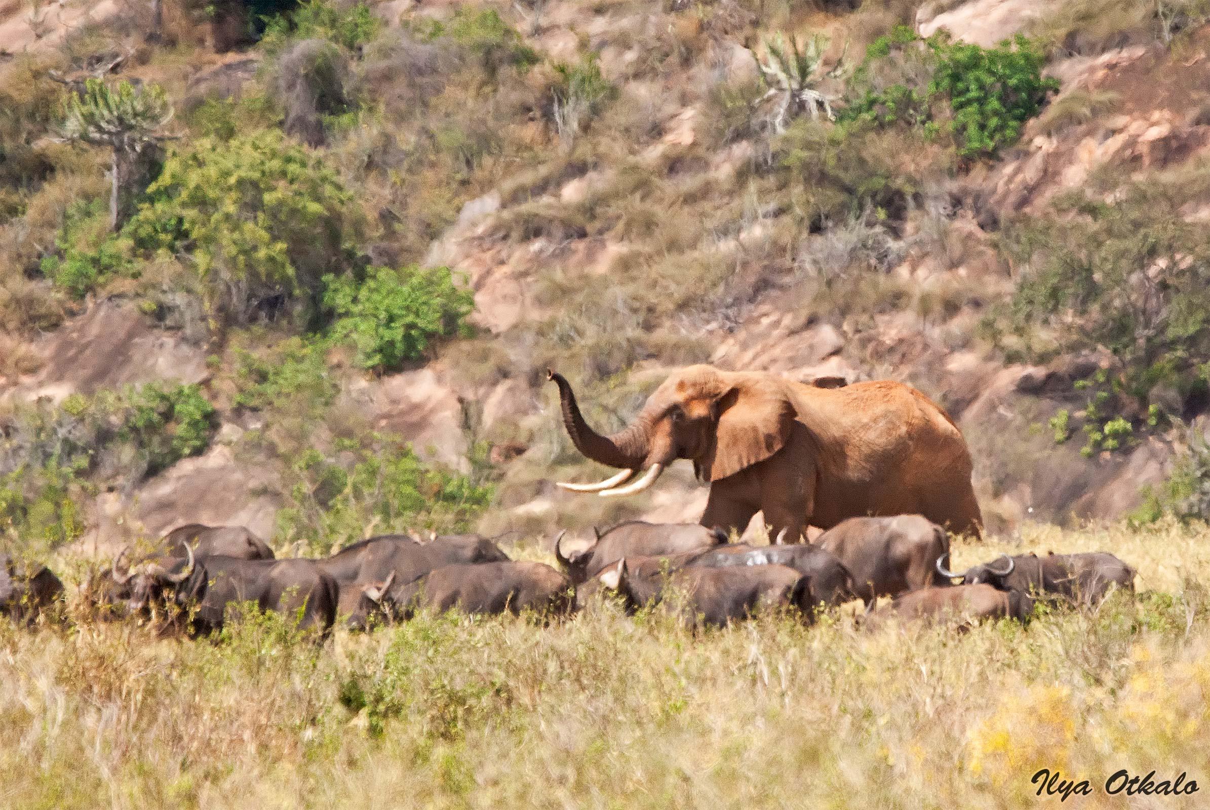 Красный слон в Тсаво