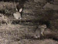 <p>Ночное сафари. Зайцы</p>