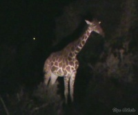<p>Ночное сафари. Жираф</p>
