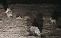 <p>Ночное сафари. Гиена с добычей убегает, рядом другая гиена, справа - догоняет шакал.</p>