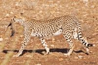 <p>Кения, Самбуру. Буффало Спрингс. Гепард с только что рожденным котенком.</p>