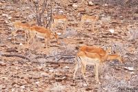 <p>Кения, Национальный парк - заповедник Шаба. Импалы.</p>