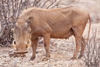 <p>Кения, Национальный парк - заповедник Шаба. Бородавочник.</p>