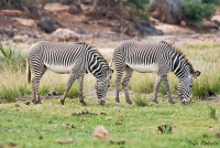 <p>Кения, Национальный парк - заповедник Шаба. Зебры Греви.</p>