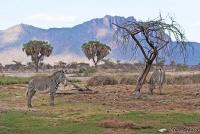<p>Кения, Национальный парк - заповедник Шаба. Зебры Греви пасутся.</p>