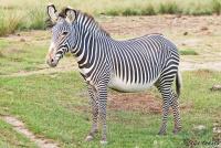 <p>Кения, Национальный парк - заповедник Шаба. Зебра Греви.</p>