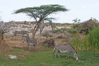 <p>Кения, Национальный парк - заповедник Шаба. Зебры Греви у водопоя.</p>