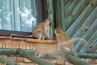 <p>Кения, Национальный парк - заповедник Шаба. Обезьянки.</p>
