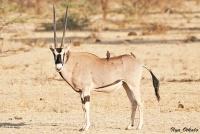 <p>Кения, Национальный парк - заповедник Шаба. Орикс.</p>