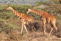 <p>Кения, Национальный парк - заповедник Шаба. Сетчатые жирафы.</p>