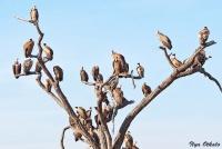 <p>Кения, Национальный парк - заповедник Шаба. Грифы на дереве.</p>