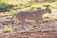 <p>Кения, Национальный парк - заповедник Буффало Спрингс. Гепард.</p>