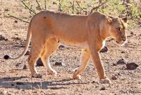 <p>Кения, Национальный парк - заповедник Буффало Спрингс. Львица</p>