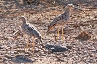 <p>Кения, Национальный парк - заповедник Буффало Спрингс. Турач Коки.</p>