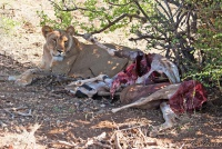 <p>Кения, Национальный парк - заповедник Буффало Спрингс. Львица у добычи.</p>