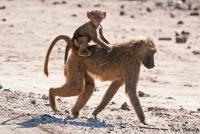 <p>Кения, Национальный парк - заповедник Буффало Спрингс. Самка бабуина с детенышем.</p>