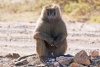<p>Кения, Национальный парк - заповедник Буффало Спрингс. Бабуин.</p>