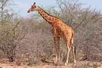 <p>Кения, Национальный парк - заповедник Буффало Спрингс. Сетчатый жираф.</p>