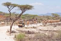 <p>Кения, Самбуру. Верблюды на дороге.</p>