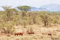 <p>Кения, Национальный парк - заповедник Буффало Спрингс. Пейзаж с бородавочниками.</p>